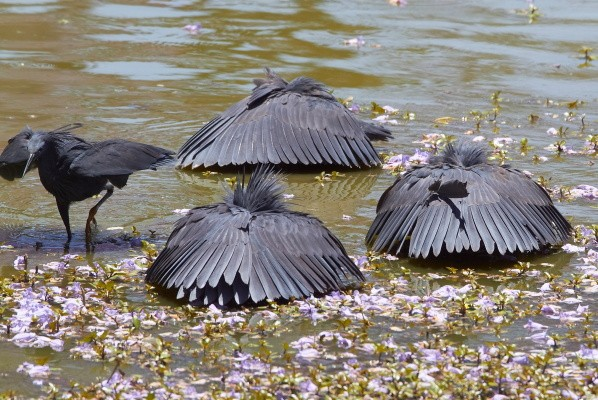 Black Herons hunting