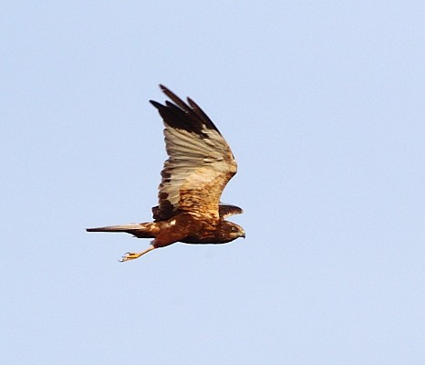 Western Marsh Harrier, younger adult-type male