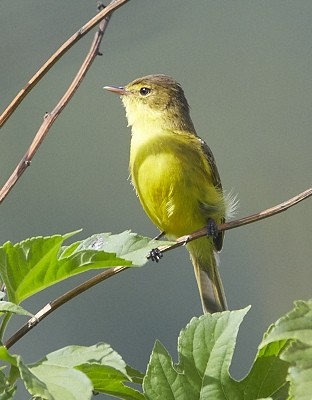 Dark-capped (African) Yellow Warbler