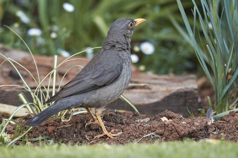 Karoo Thrush (Turdus smithi), split from Olive
