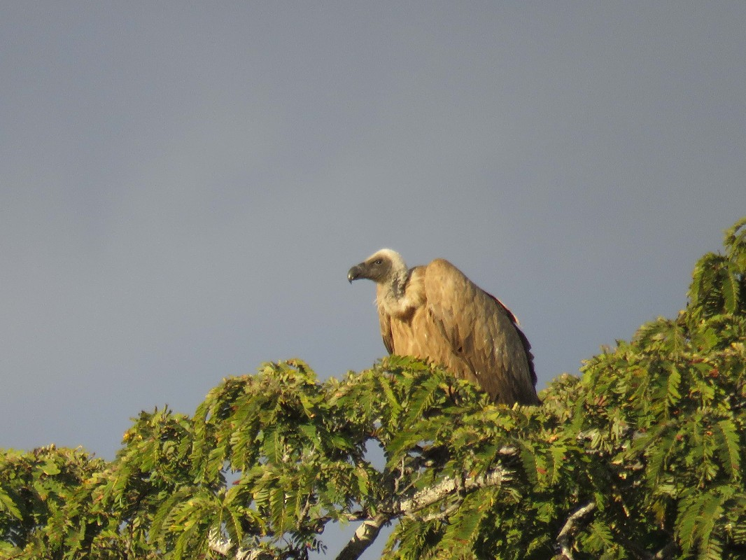 White-backed Vulture adult