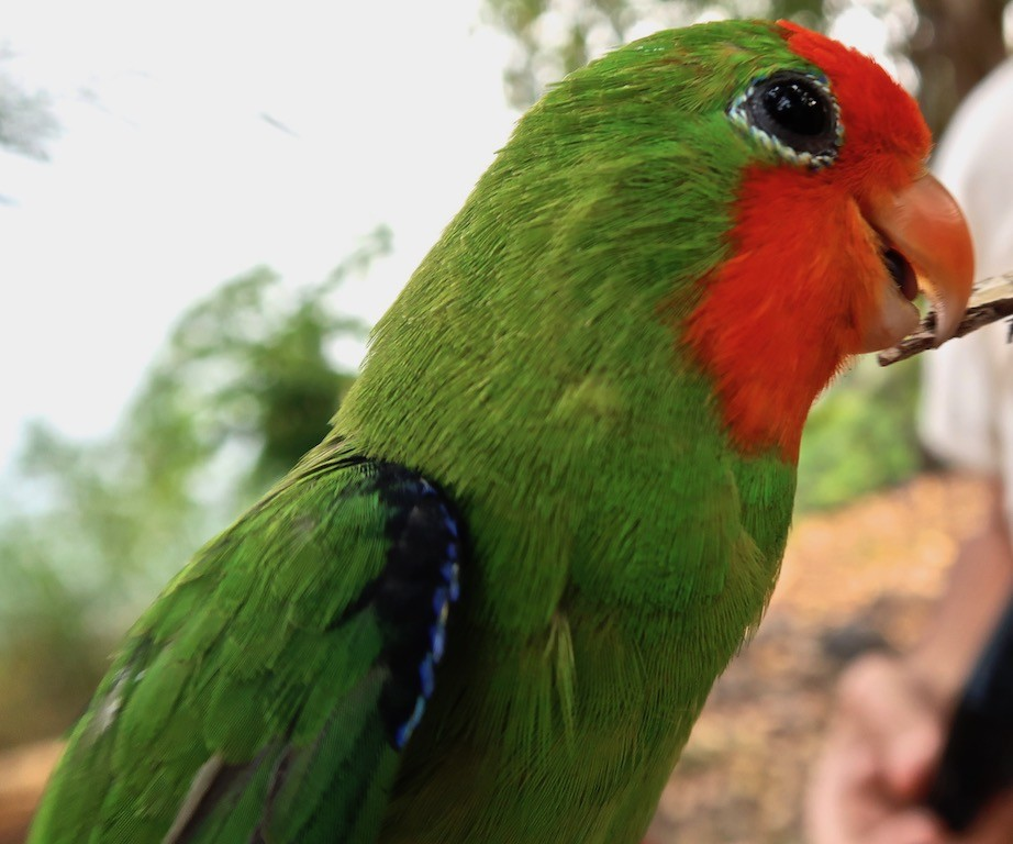Red-headed Lovebird, Sao Tomé