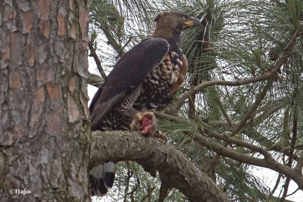 Crowned Eagle with some kind of prey