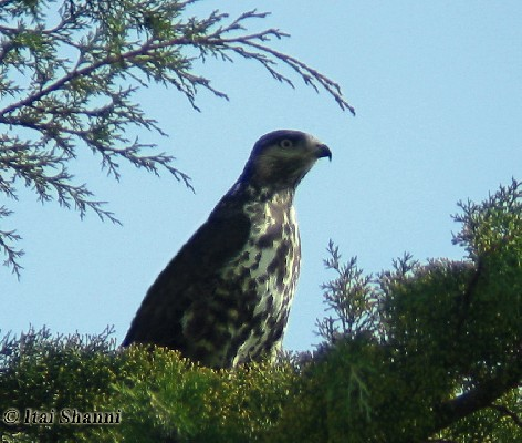 Mountain Buzzard