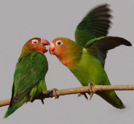 Pair of adult Lilian's Lovebirds Allopreening