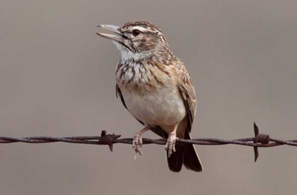 Large-billed Lark singing