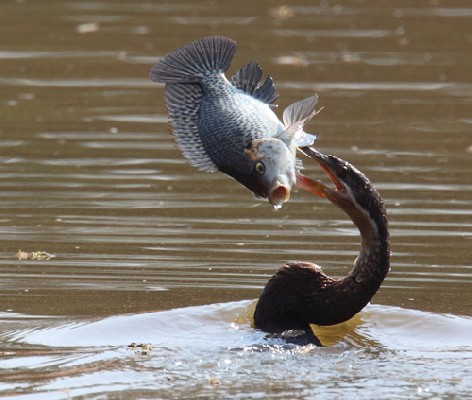 African Darter - Swimming with fish speared on bill