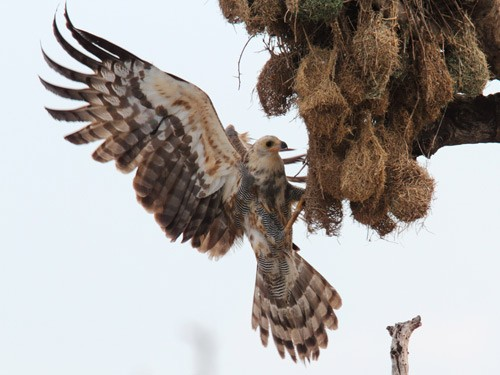 Immature African Harrier Hawk hanging on underside of Weaver nest colony, with wings spread, trying to catch nestlings