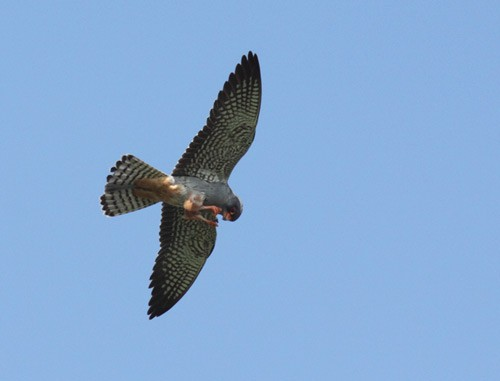 Amur Falcon on the wing, hawking for insects