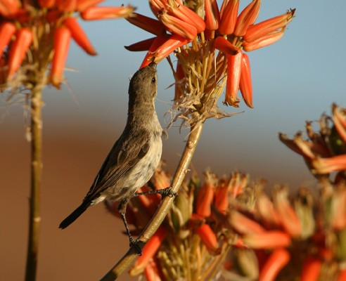 Female Dusky Sunbird drinking nectar from Alos sp.