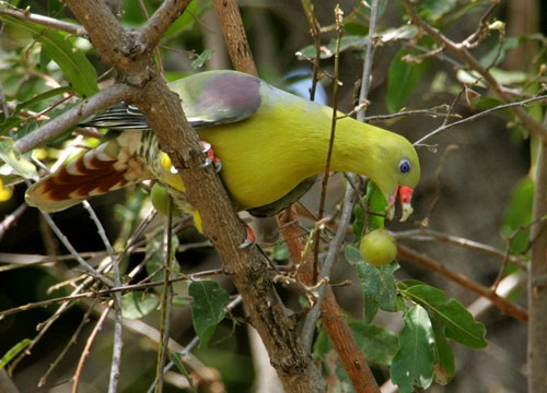 African Green Pigeon eating fig