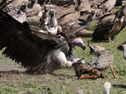 Lappetfaced Vulture attacking and seeing off a Golden Jackal in dispute over gnu carcass