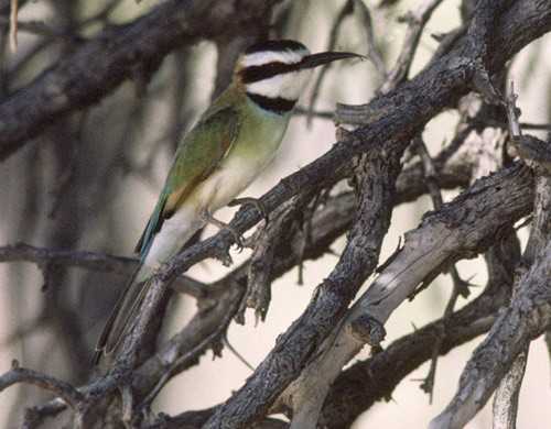 First ever Southern African record for Whitethroated Bee-eater