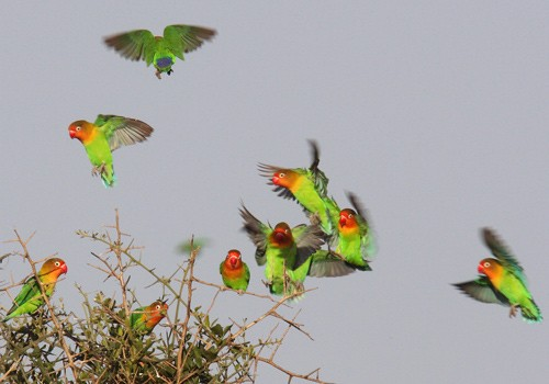 Flock of Fischer's Lovebirds landing in tree