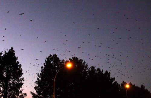 Amur Falcons returning to winter roost after sunset