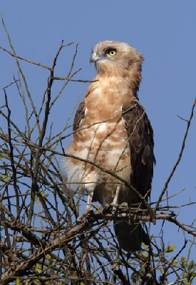 Black-chested Snake Eagle - Immature perched