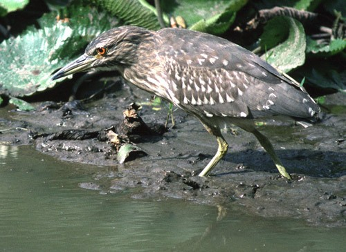 Black-crowned Night Heron - Immature in mud at edge of pond