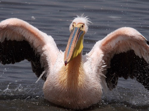 Great White Pelican bathing in freshwater inlet to soda lake