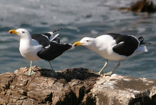 Pair of Kelp Gulls.  One tugging wing of its mate.