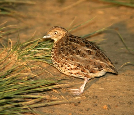 Kurrichane Buttonquail photographed at night/dusk