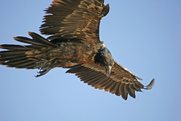 Close up of Bearded Vulture in Flight