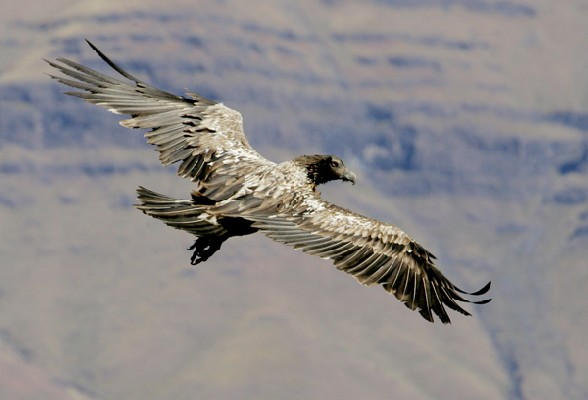 Bearded Vulture in gliding flight seen from above