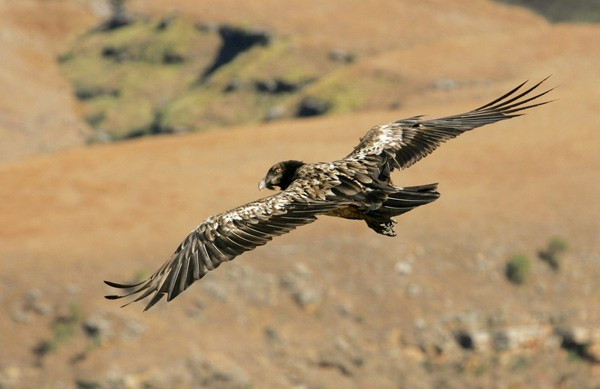 Bearded Vulture in gliding flight as showing upper wing