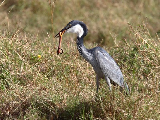 Black-headed Heron eating snake