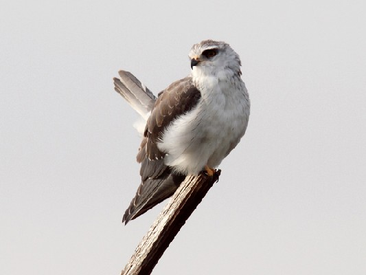Black-shouldered Kite flicking tail up and down