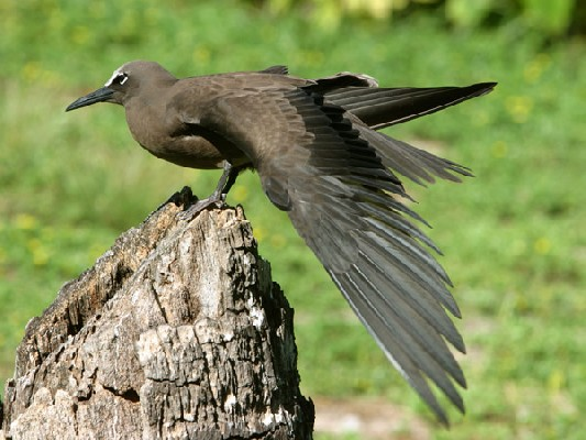 Brown Noddy stretching its wing