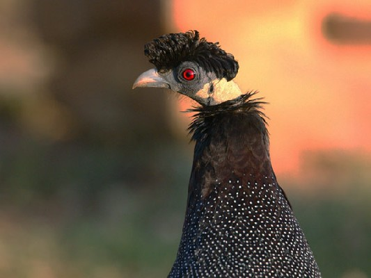 Crested Guineafowl close up