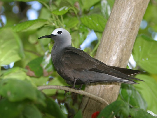 Lesser Noddy perched