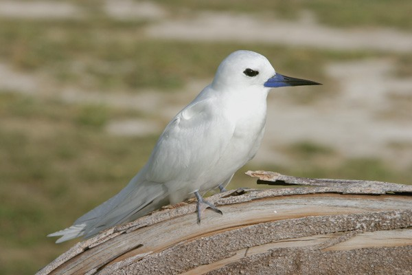 White Tern perched