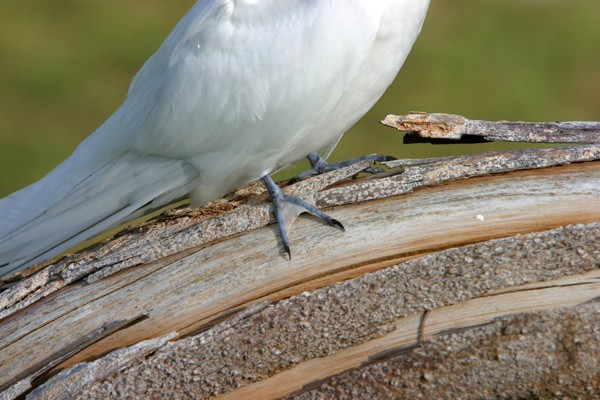 Webbed Feet of White Tern