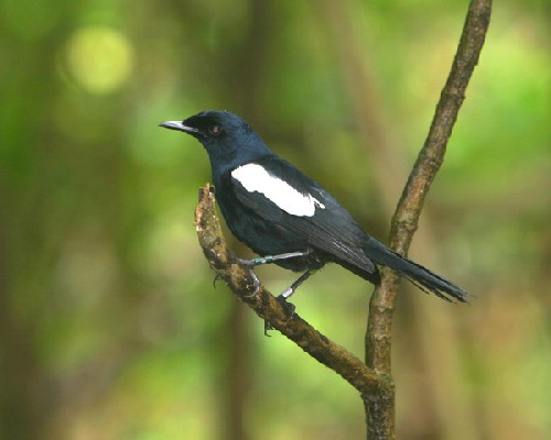 Seychelles Magpie-Robin with Colour Rings