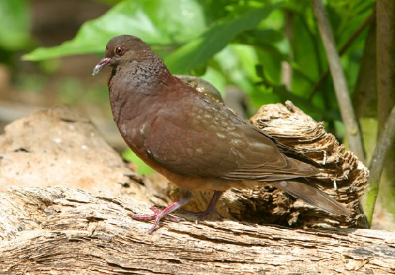 Madagascar Turtle Dove displaying
