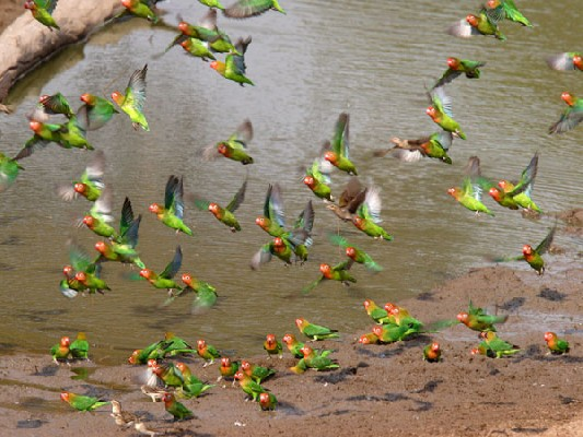 Lilian's Lovebird flock at Waterhole