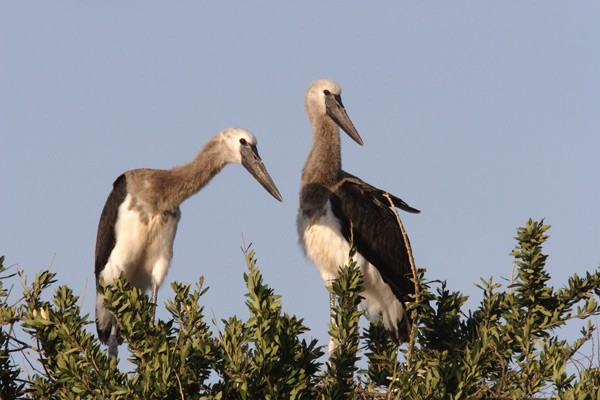Saddle-billed Storks atop tree