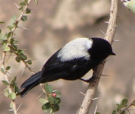 White-backed Tit, probably male