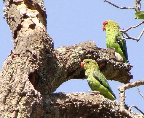 Black-winged Lovebird pair at nest