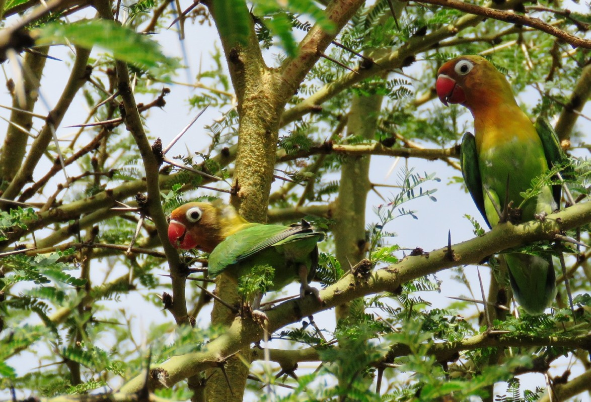 Fischer's Lovebird, adults in branches