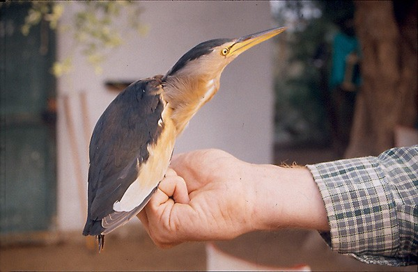 Little Bittern in the hand