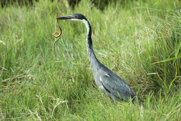 Black-headed Heron about to eat snake