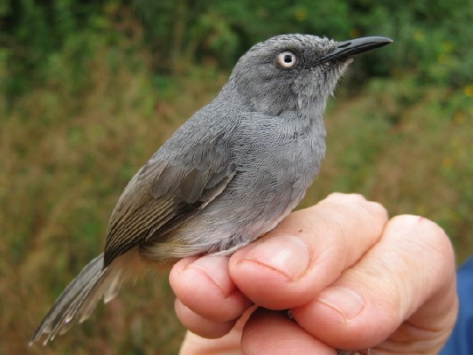 Adult Sierra Leone Prinia, trapped at 1345 m