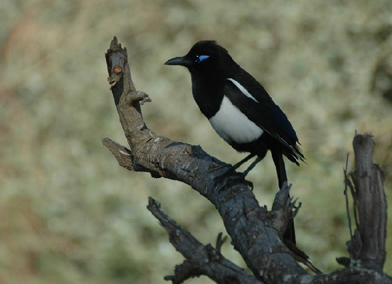 Common Magpie spp mauritanica