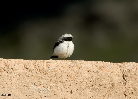Northern Wheatear - spp seebhomi