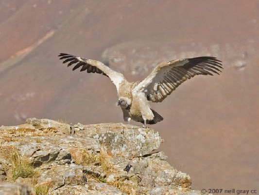 Cape Vulture spreading wings