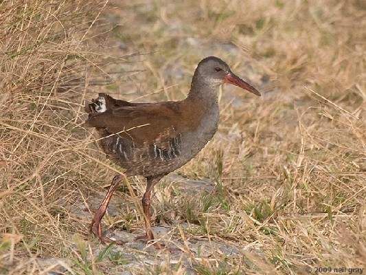 African Water Rail