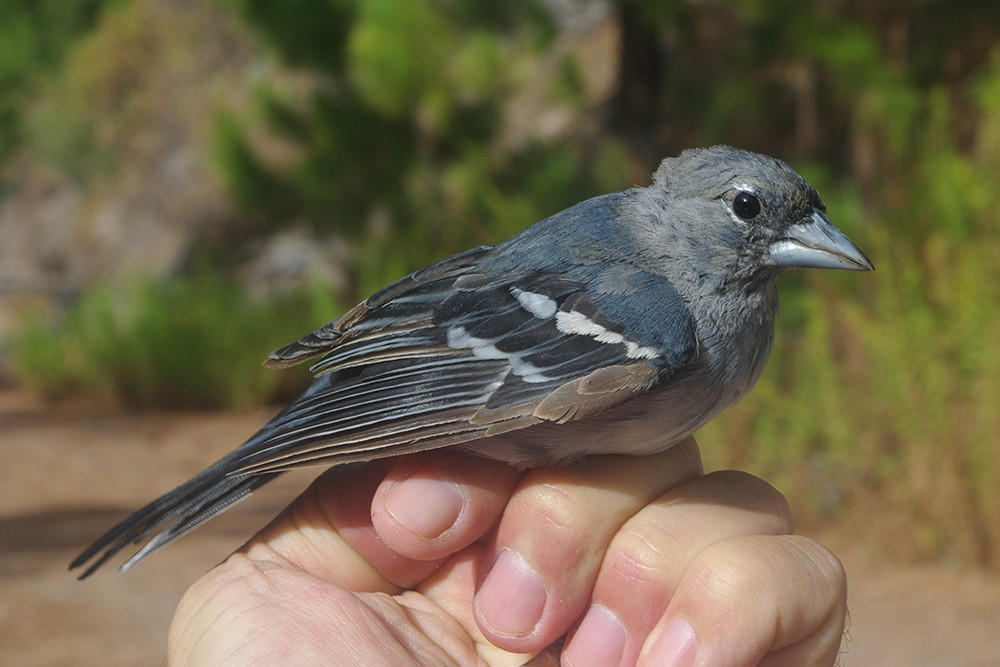 Gran Canaria Blue Chafffinch moulting