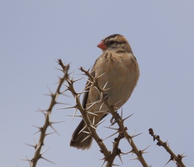 Pin-tailed Whydah, Ethiopia